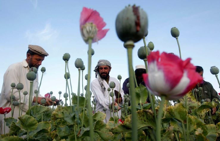 POPPY PIPELINE: Some of the estimated $400 million that the Taliban raised last year comes from a cut of the opium harvests in Afghanistan. REUTERS/Parwiz